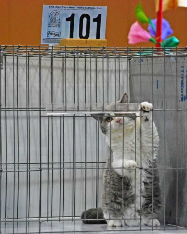 Selkirk Rex kitten waiting to be judged - Cable